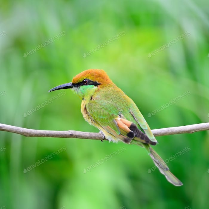 Thumbnail for Little Green Bee-eater