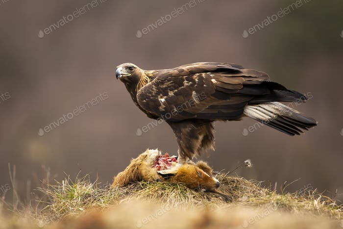 Golden eagle standing on dead prey in autumn nature
