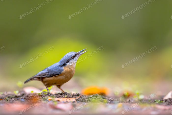 Eurasian nuthatch looking upward
