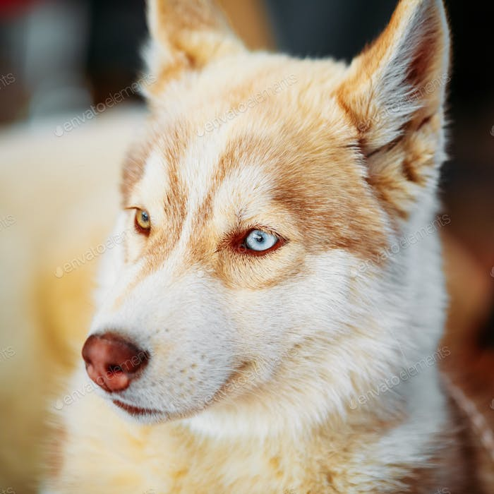 Close Up Young White And Red Husky Puppy Dog