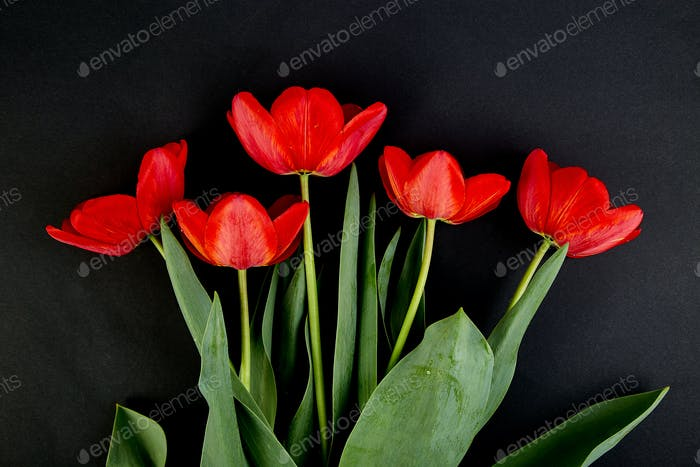 Overhead view of red tulips isolated on black background.