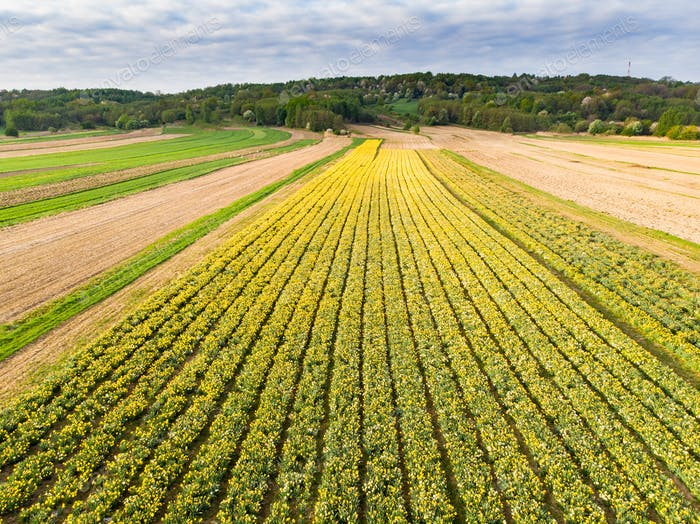 Spring flowers plantation, aerial from drone