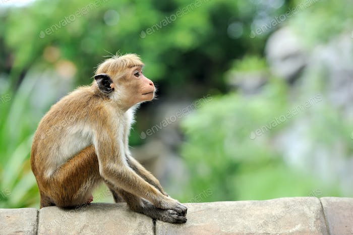 Monkey in the living nature