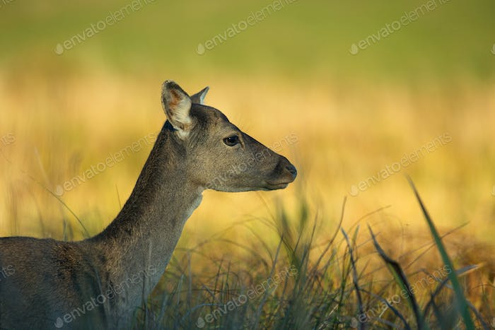 Portrait of female Fallow Deer (Dama dama)