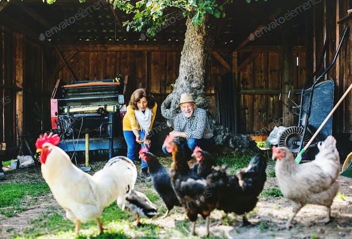 A senior couple with hens on a farm.