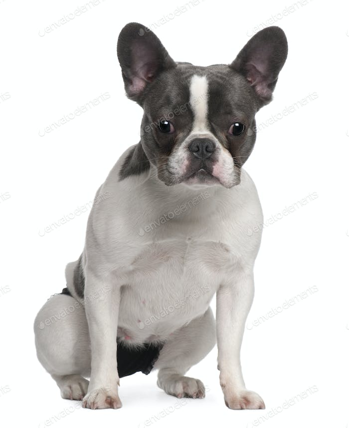 French Bulldog puppy, 9 months old, sitting in front of white background