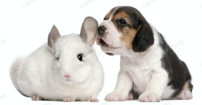 Beagle Puppy, 1 month old, and a Wilson Chinchilla, 12 months old, in front of white background