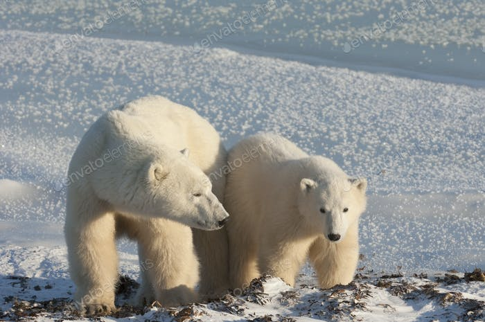 Two polar bears side by side on a snowfield in Manitoba.