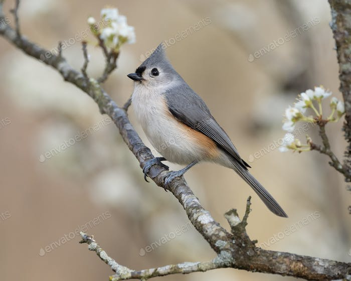 Tufted Titmouse in Plum Tree
