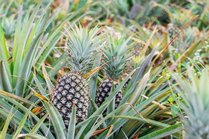 Pineapple in farm
