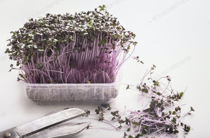 Cutting microgreens and sprouting seeds in plastic pot