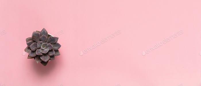 Sukkulente Pflanze vor rosa Hintergrund, Kopierraum
