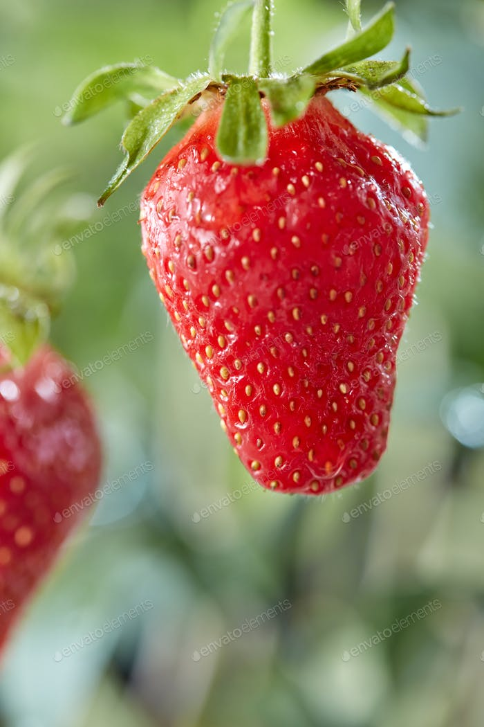 Ripe strawberry on a stalk with a drop of water on a background of greenery. Organic berry