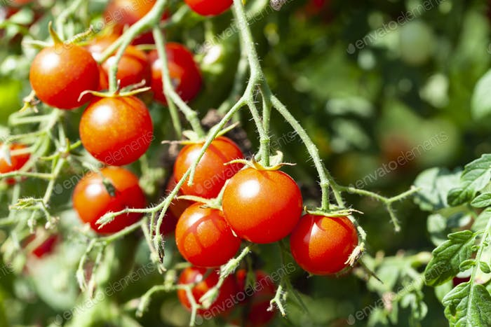 Red Tasty Cherry Tomatoes