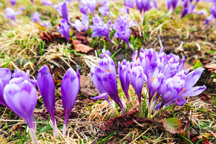 Purple crocus flowers in snow awakening in spring to the warm go