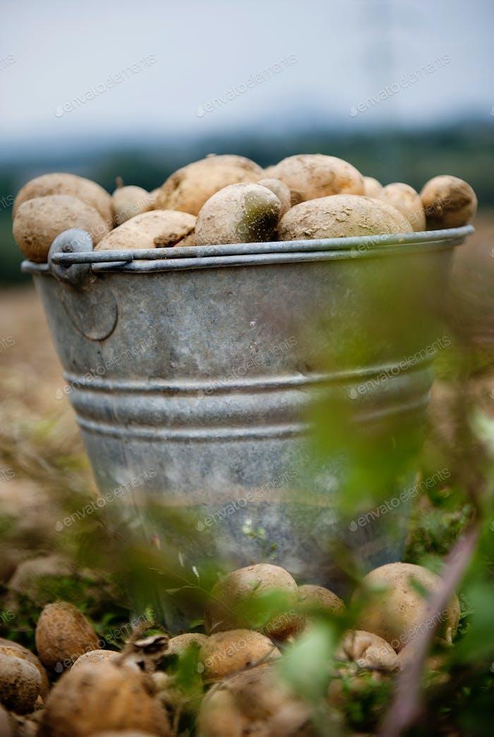 Bucket full of potatoes