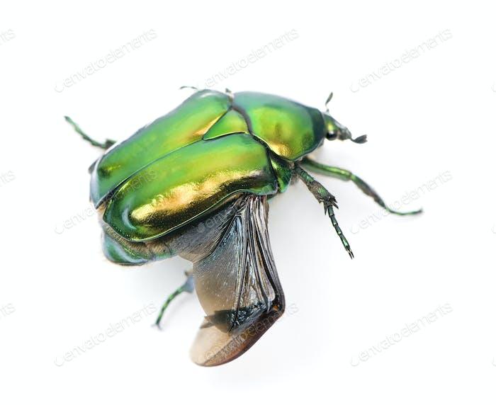 Green flower beetle, Cetonischema aeruginosa, against white background, studio shot