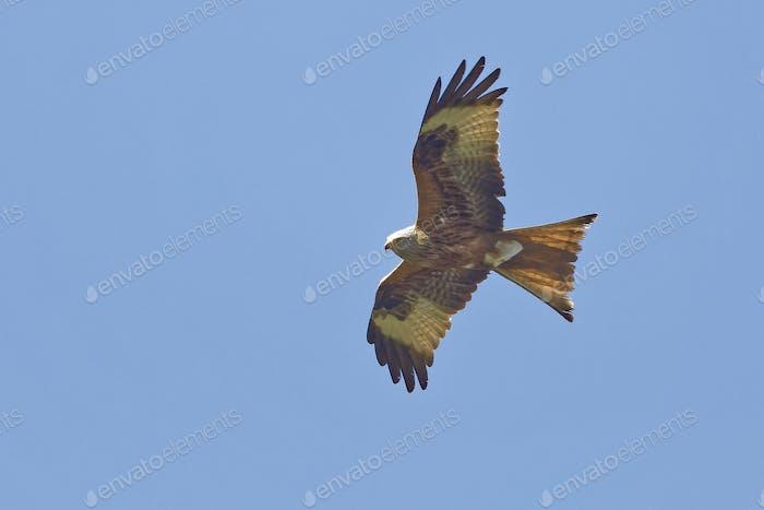 Rotmilan, Milvus milvus, Red Kite