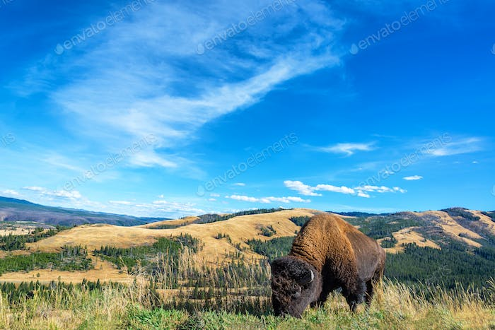 Buffalo Landscape View