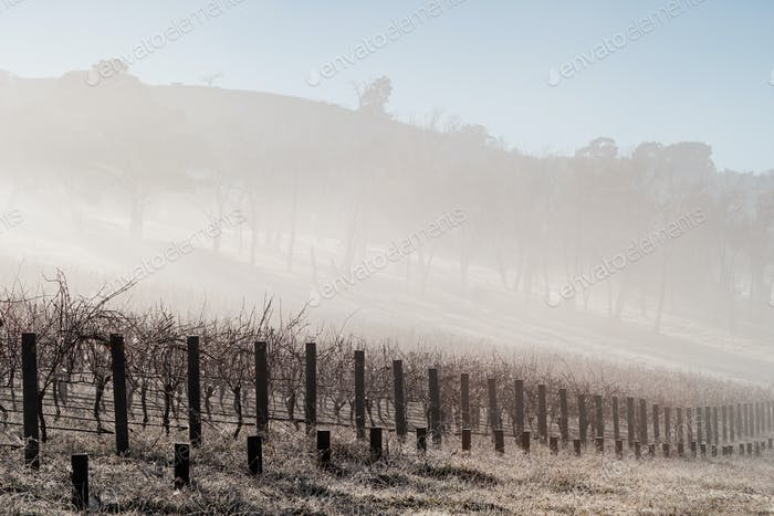 Fog In The Vines in the Yarra Valley