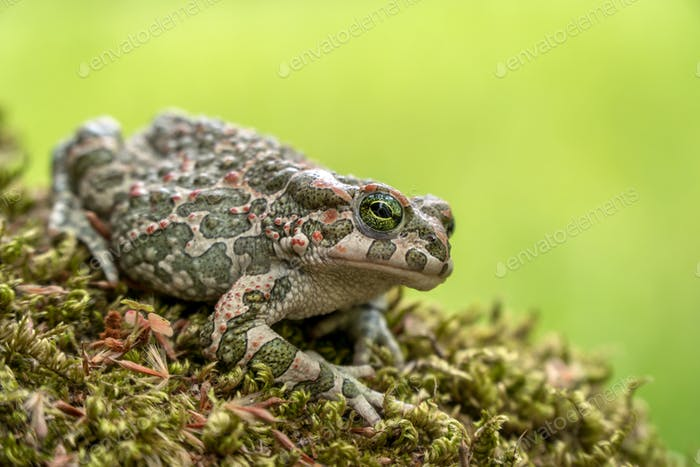 Side View of European Green Toad (Bufo Viridis) Sitting on Green Moss on Green and Yellow Background