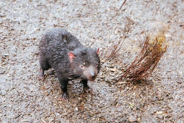 Tasmanischer Teufel in Tasmanien Australien