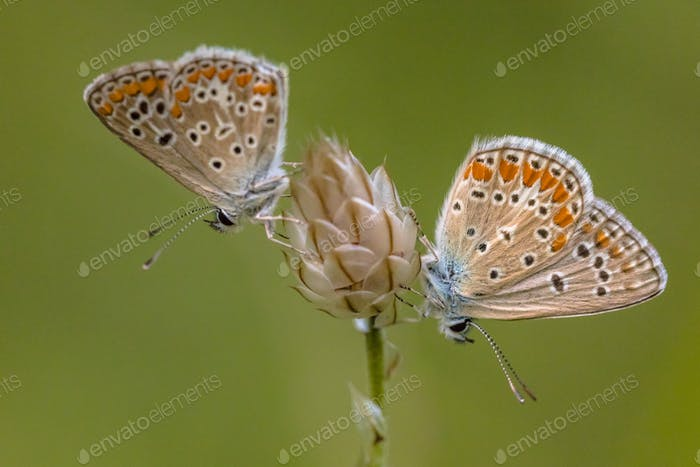 Two Common blue butterfly