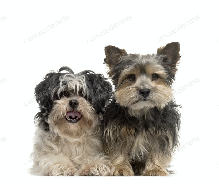 Two dogs sitting together, Yorkshire Terrier and Shih Tzu, cut out
