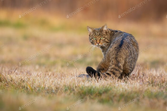 European wildcat looking back on a meadow in autumn
