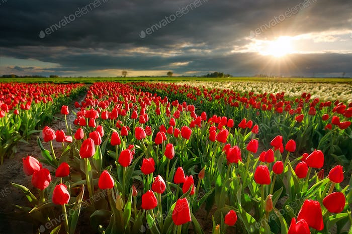 sunshine over red tulip field in spring