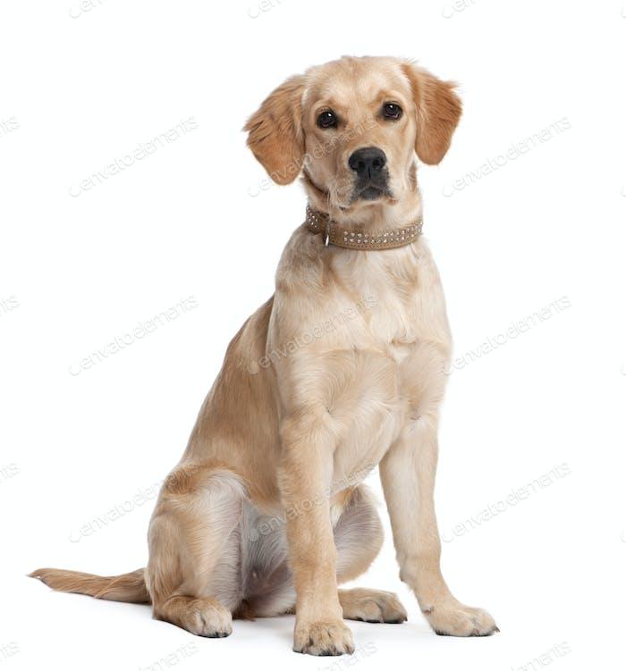 Golden Retriever puppy (5 months old)