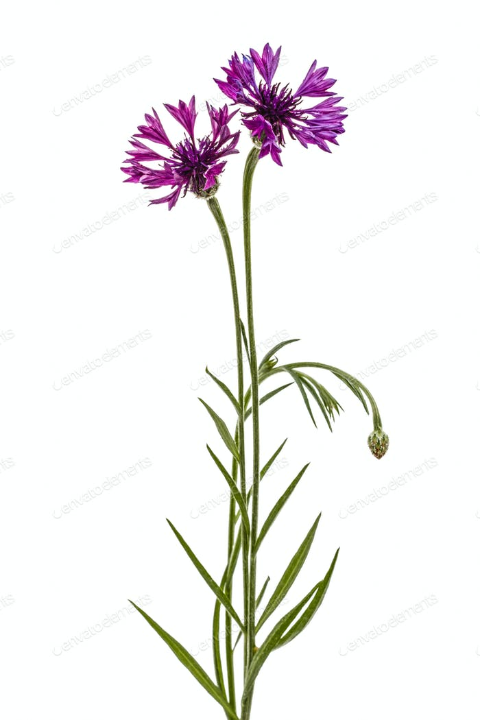 Violet flower of cornflower, lat. Centaurea, isolated on white b