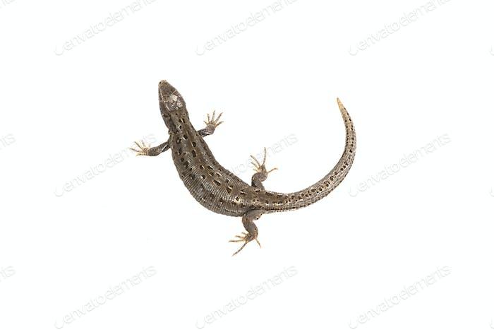 Lizard (Lacerta agilis) on a white background