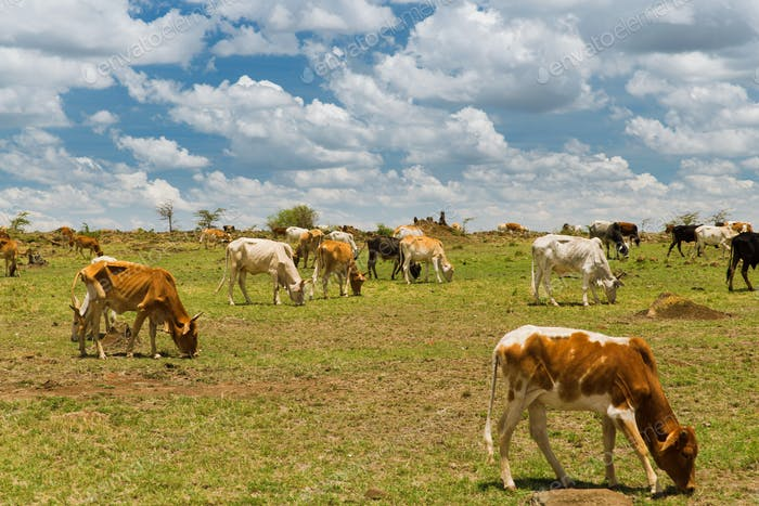 Kühe grasen in Savanne in Afrika