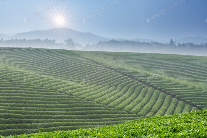 beautiful tea plantation and sunlight