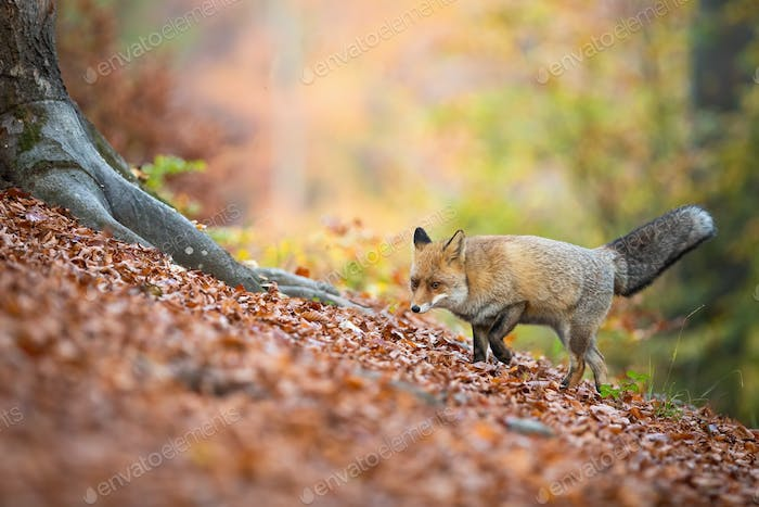 Red fox walking in deciduous forest in autumn nature