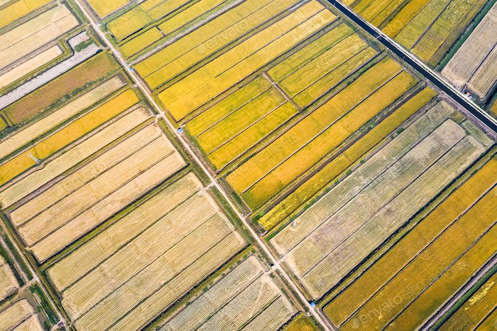 aerial view of golden paddy field