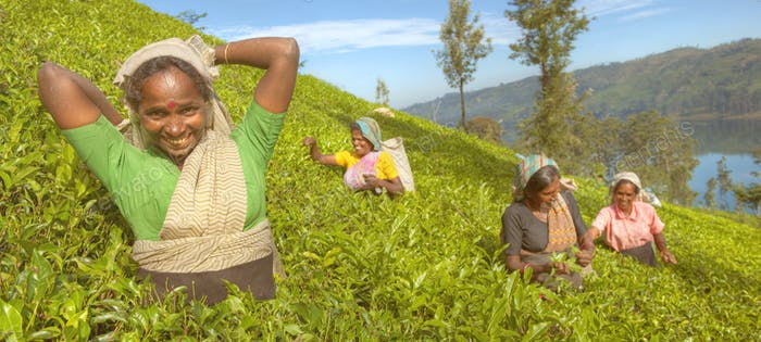 A Group Of Happy Tea Pickers