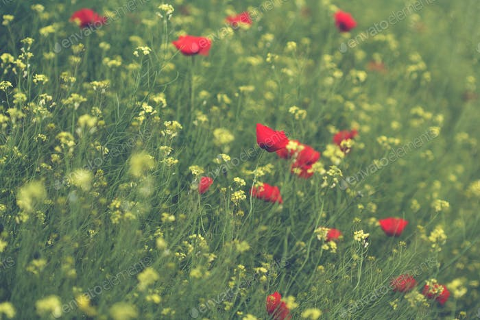 poppy and canola flower field