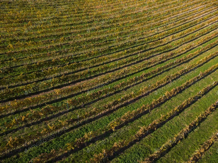 Beautiful patterns in autumnal vineyards,from above