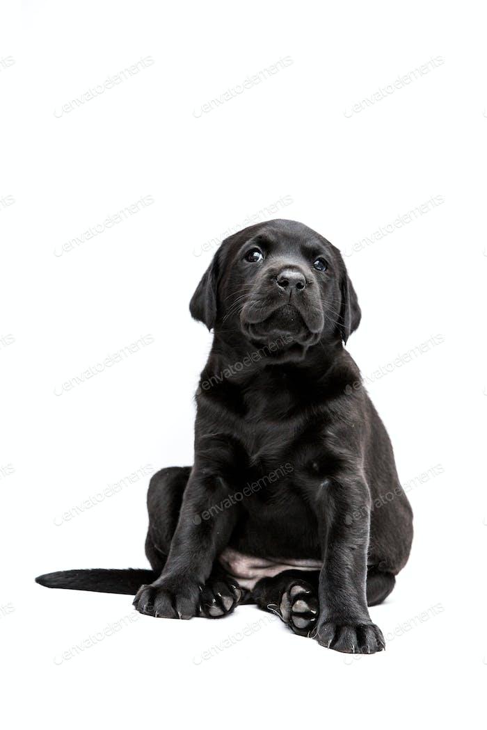 Sitzender schwarzer Labrador Welpe auf weißem Hintergrund.