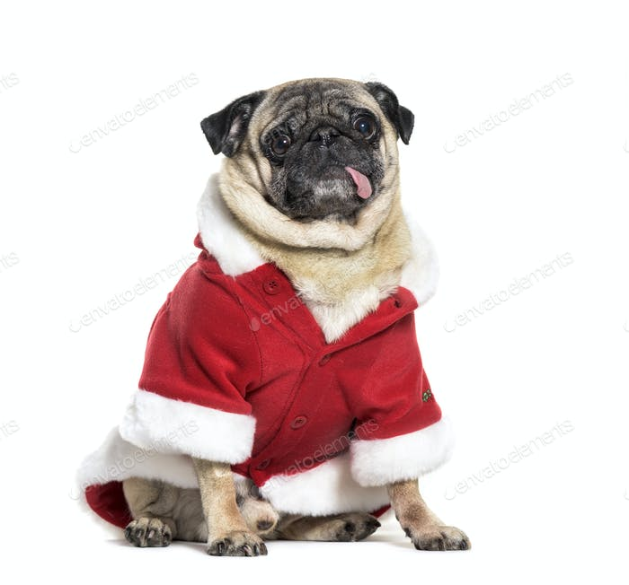 Pug in Santa outfit sitting in front of white background