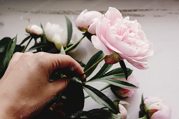 hand holding lovely peony pink on rustic white background, florist, tender moment