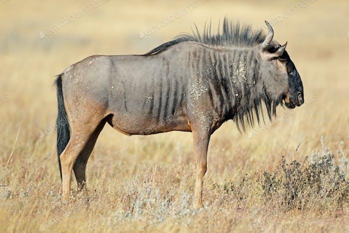 Wildebeest in natural habitat
