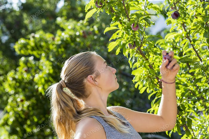 13 year old girl picking plums from tree