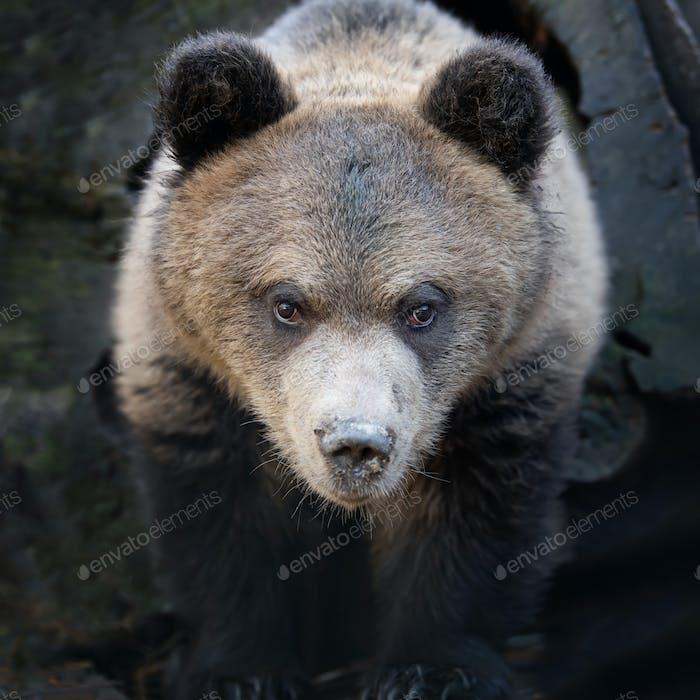 Close up bear cub portrait