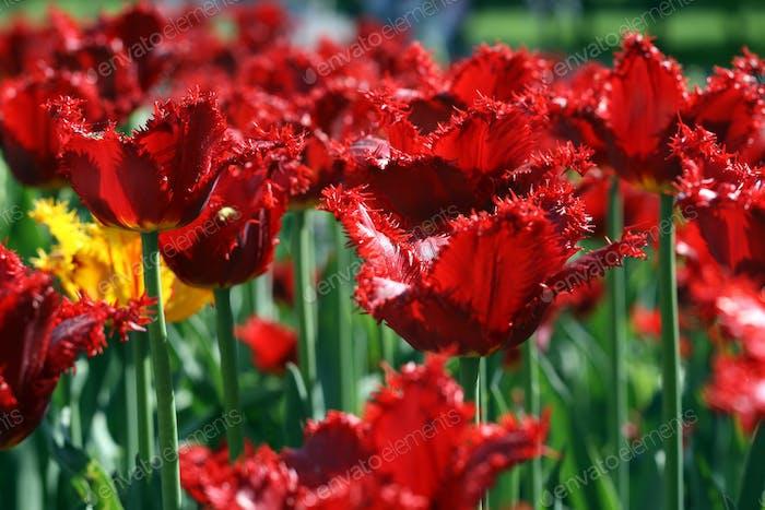 schöne Tulpen-Hintergrund