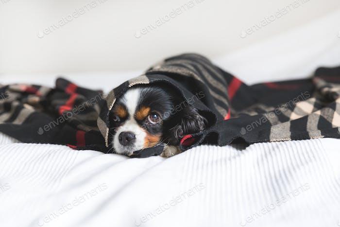 Cute dog under the blanket
