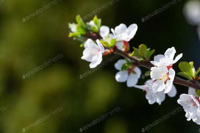 Cherry blossom spring tree