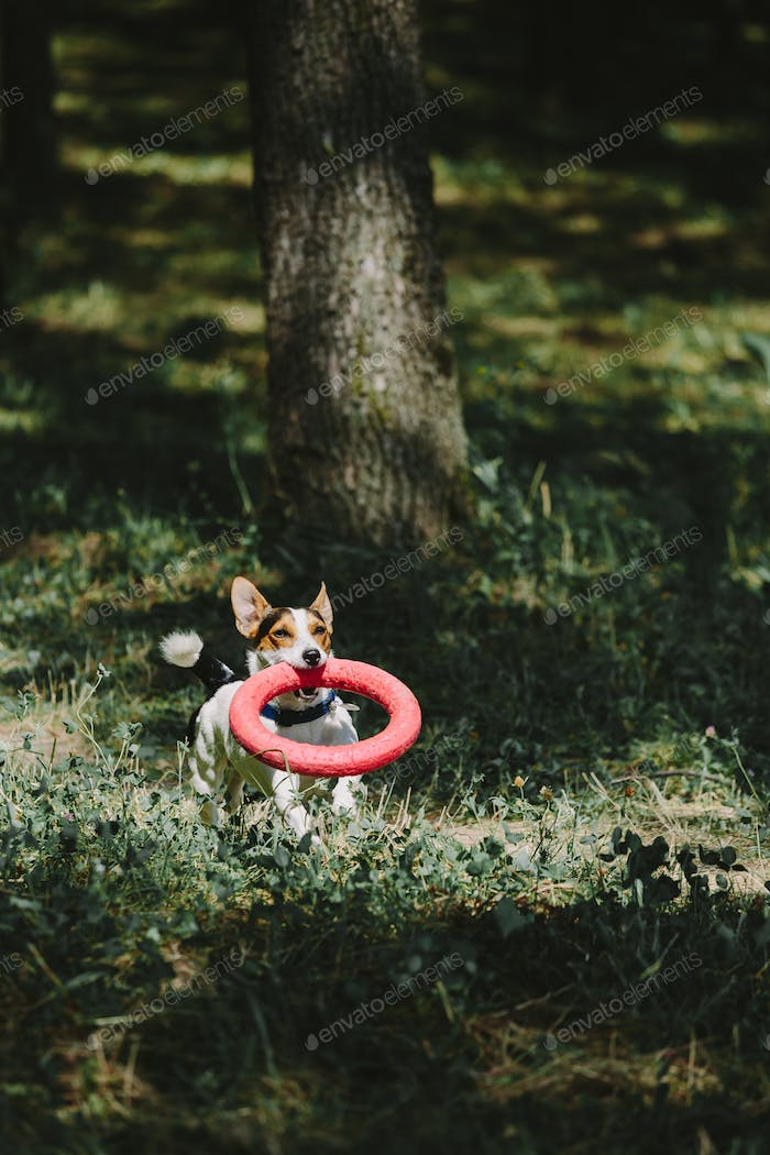 Dog running with toy in woods